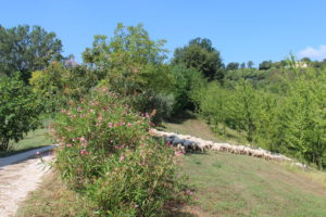 Soms staat er een kudde schapen in de tuin | Vakantiewoning Casa Cipresse