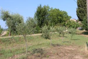 Kleine olijfboompjes | Vakantiewoning Casa Cipresse
